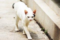 El gato blanco en Tailandia está caminando foto de archivo libre de regalías