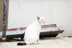 El gato blanco en Tailandia se está sentando fotos de archivo libres de regalías
