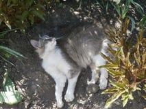 El gato blanco grisáceo miente entre las flores Fotografía de archivo libre de regalías