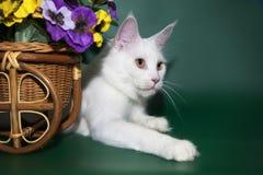 El gato blanco hermoso Maine Coon miente cerca de la cesta con las flores Foto de archivo