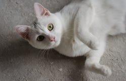 El gato blanco joven miente y mira la cámara Fotos de archivo