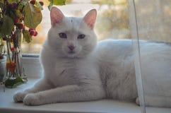 El gato blanco miente en un alféizar Fotografía de archivo