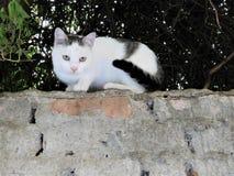 El gato blanco-negro dulce en el top de la pared Imagen de archivo