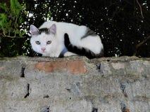 El gato blanco-negro dulce en el top de la pared Imagen de archivo libre de regalías