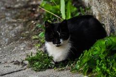 El gato blanco negro hermoso se sienta en el hormig?n Animal dom?stico outdoor imagen de archivo