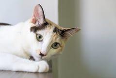 El gato blanco que duerme en la tabla y se prepara para atacar algo Foto de archivo libre de regalías