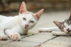 El gato blanco soñoliento de la estancia que pone en el pavimento, otro duerme en fondo imagenes de archivo