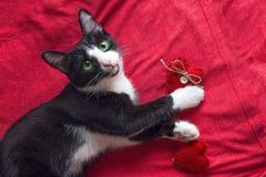 El gato blanco y negro con un corazón rojo está en el fondo rojo Imagen de archivo libre de regalías