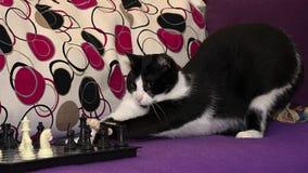 El gato blanco y negro elegante que juega a ajedrez Fotos de archivo