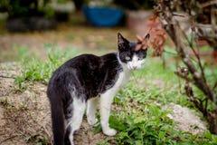 El gato blanco y negro hermoso tiró para arriba cerca de mirar la cámara en el jardín imagen de archivo