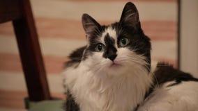 El gato blanco y negro lindo divertido pone en una silla y mira en la cámara Fondo de los animales almacen de video