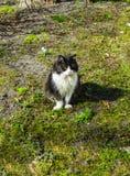 El gato blanco y negro toma el sol en el primer sol de la primavera fotografía de archivo libre de regalías