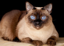 El gato Bobtail del Mekong se está sentando en la tabla Fotos de archivo