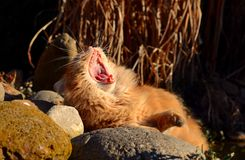 El gato bosteza en la puesta del sol Imagen de archivo