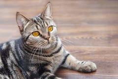El gato británico de la raza del pelo corto con los ojos amarillos brillantes pone en el piso de madera Color de Tebby, dentro Ga fotos de archivo