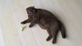 El gato brit?nico marr?n perezoso del pelo corto que pone en la tierra y que juega con los ratones juega El gato juguet?n juega c