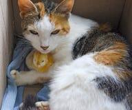 El gato calienta el pollo Foto de archivo libre de regalías