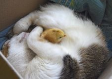 El gato calienta el pollo Imagenes de archivo