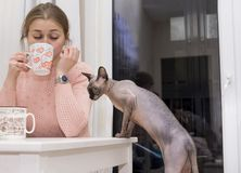 El gato calvo sube en la tabla, curiosamente miradas, té que sorbe de la muchacha Foto de archivo libre de regalías