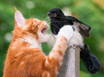 El gato cazó un pájaro Fotografía de archivo