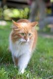 El gato coge una caminata en el cierre de la hierba Fotografía de archivo libre de regalías