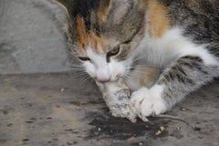 El gato cogió el ratón El gato come el ratón cogido Cazador casero foto de archivo libre de regalías