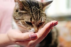 El gato come de la mano de la mujer imagen de archivo libre de regalías