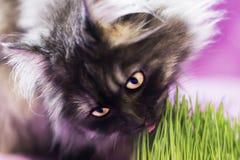 El gato come la hierba foto de archivo libre de regalías