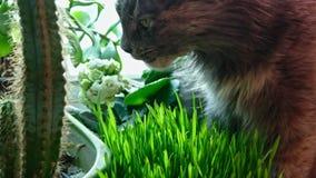 El gato come la hierba en alféizar metrajes