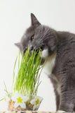 El gato come lanzamientos verdes Imagen de archivo
