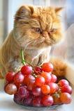 El gato come las uvas Foto de archivo libre de regalías