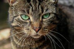 El gato con los ojos verdes mira en la cámara Fotografía de archivo libre de regalías