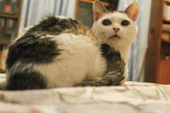 El gato con los puntos blancos y oscuros fotos de archivo libres de regalías