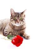El gato con rojo se levantó Foto de archivo libre de regalías