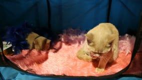 El gato cremoso del color que se sienta en caja y los visitantes cuidadoso de observación en el animal doméstico muestran almacen de metraje de vídeo