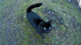 El gato curiosamente negro va a la cámara y al tacto almacen de video