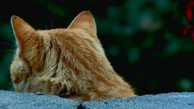 El gato de gato atigrado curioso mira prudentemente sobre la pared la cámara del primer almacen de video