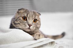 El gato de gato atigrado escocés gris adorable del doblez está agazapado en la cama blanca en el cuarto fotos de archivo