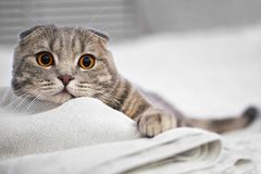 El gato de gato atigrado escocés gris adorable del doblez está agazapado en la cama blanca en el cuarto fotografía de archivo