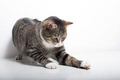 El gato de gato atigrado está jugando con la comida fotos de archivo