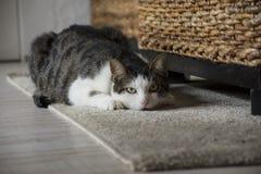 El gato de gato atigrado lindo está mirando la cámara Fotografía de archivo
