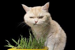 El gato de gato atigrado poner crema hermoso está comiendo la hierba, aislada en un fondo negro fotos de archivo