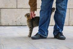 El gato de gato atigrado que estira para arriba con arqueado detrás como él es acariciado por la persona en tejanos y chaqueta -  fotos de archivo