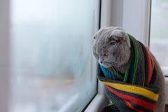 El gato de británicos escoceses cría envuelto en una bufanda caliente que mira al ou Fotografía de archivo