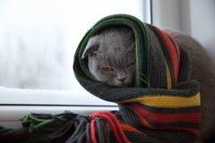 El gato de británicos escoceses cría envuelto en una bufanda caliente que mira al ou Imagen de archivo