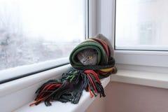 El gato de británicos escoceses cría envuelto en una bufanda caliente que mira al ou Fotos de archivo libres de regalías