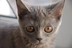 El gato de británicos Shorthair está mirando adelante la ventana imagen de archivo