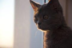 El gato de británicos Shorthair está mirando en la ventana en el ocaso imagenes de archivo