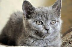 El gato de británicos Shorthair está poniendo en el malo y está mirando adelante imagen de archivo