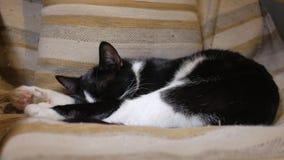 El gato de casa está descansando sobre el recliner en una sala de estar almacen de video